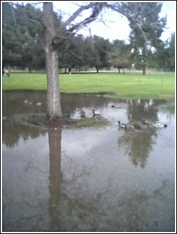 Ducks at Balboa Golf Course