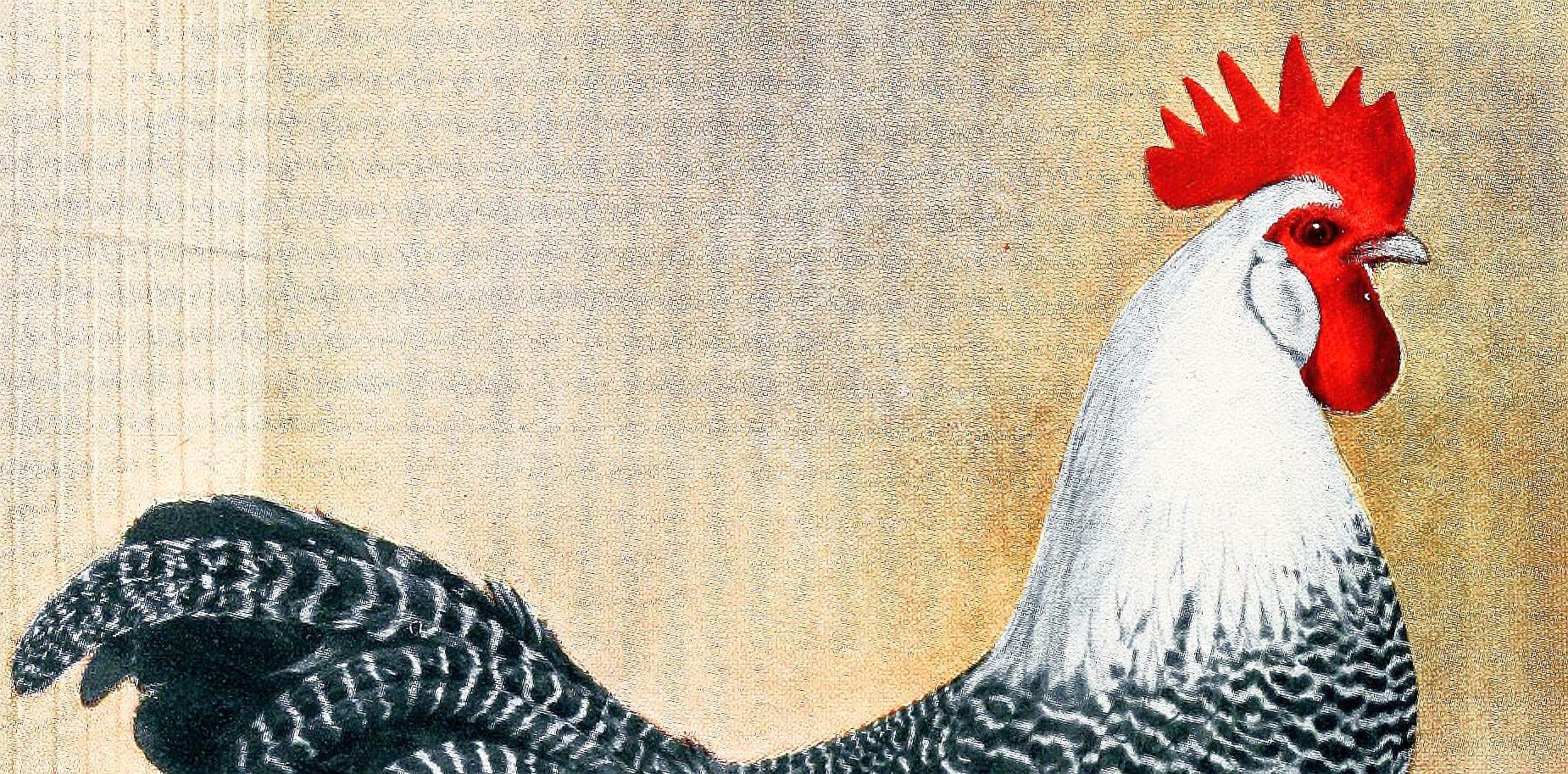 chicken- image_005-crop
