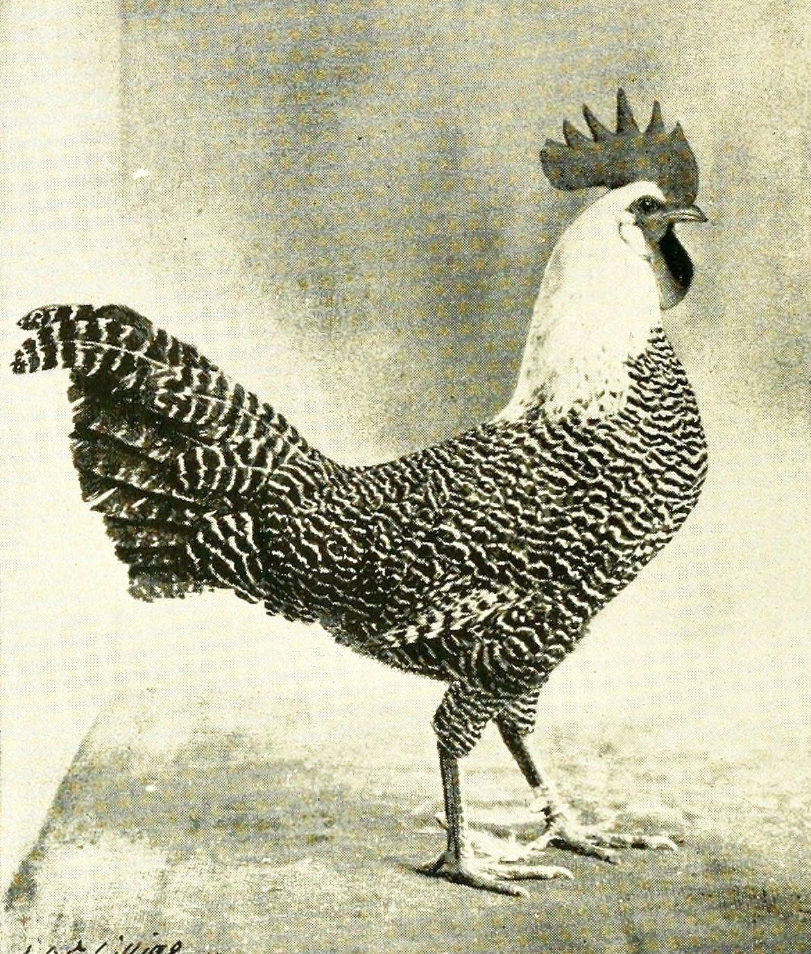 chicken- image_021