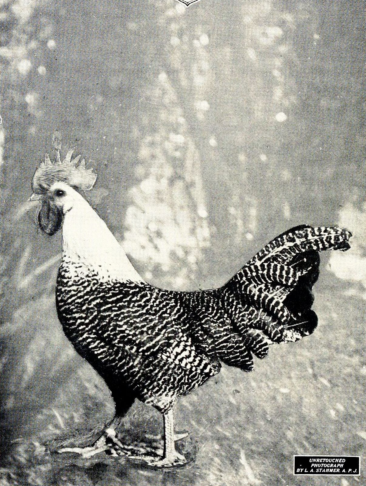 chicken- image_039
