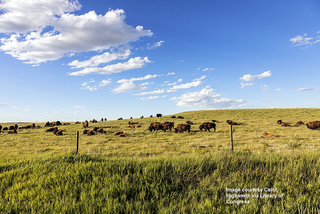 proc-001_Bison herd in Weld County, Colorado, near the Wyoming line